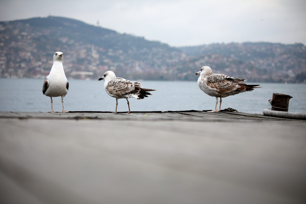 seagulls free to use stock photo